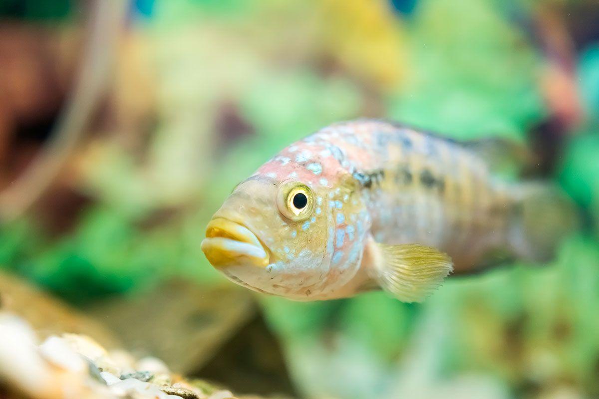 pez bichir de senegal