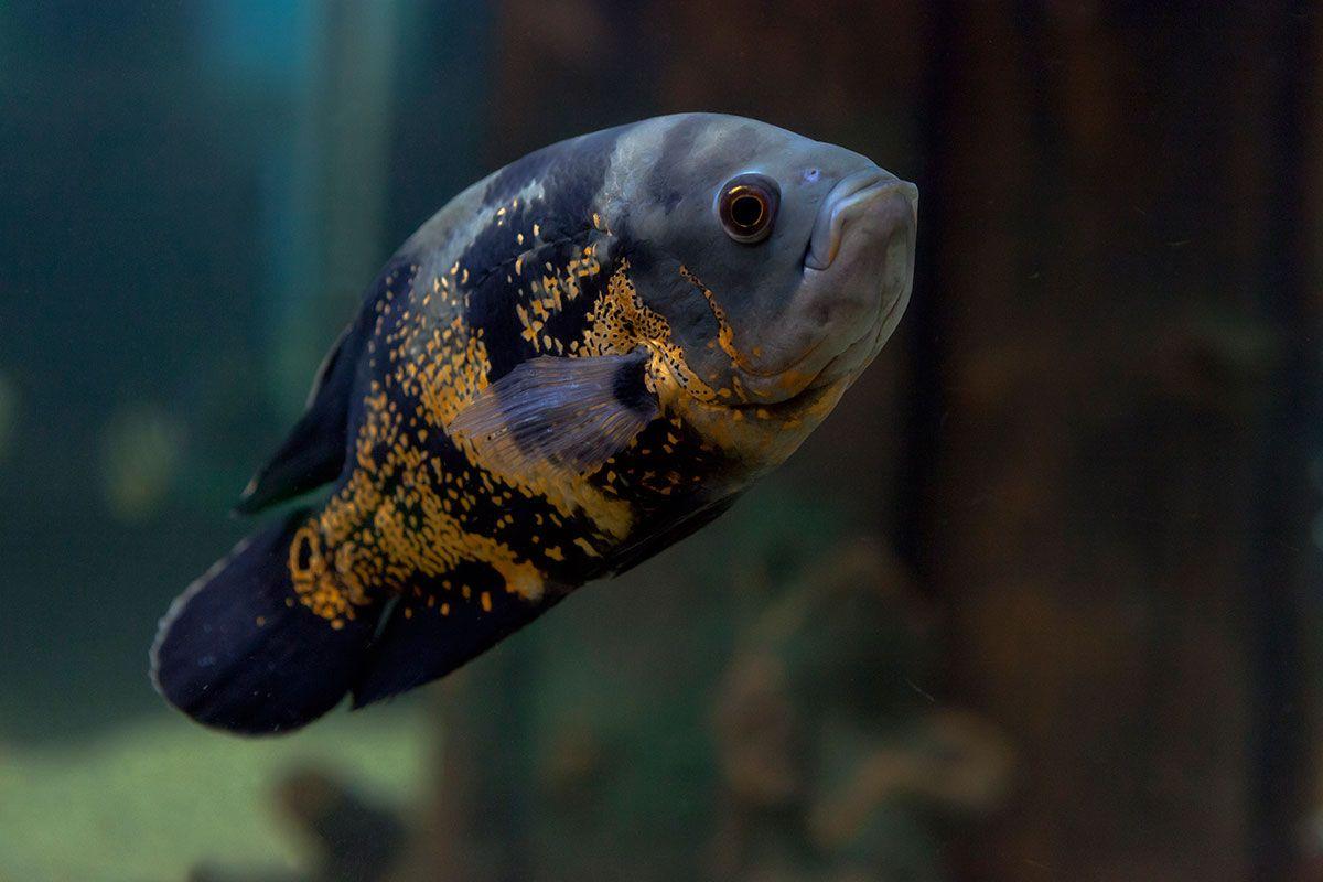 4 peces tropicales de agua dulce para acuario hogarmania On peces agua dulce tropicales para acuario