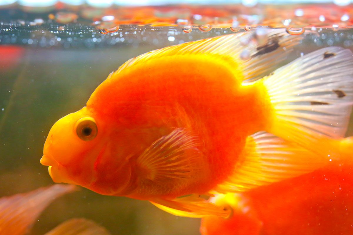 4 peces tropicales de agua dulce para acuario hogarmania for Peces agua dulce