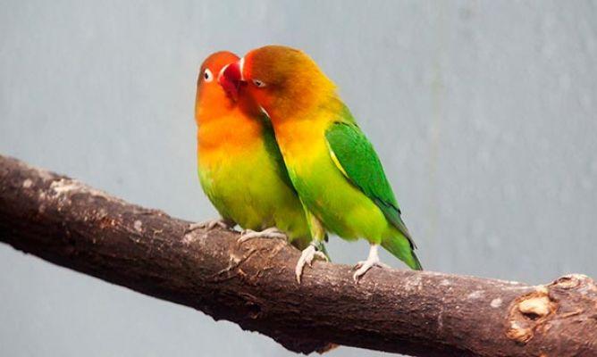 52374f377 Agapornis o lovebirds, los pájaros del amor - Hogarmania