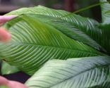 Por qué las hojas de las plantas se vuelven amarillas y cómo solucionarlo - Exceso de exposición al sol