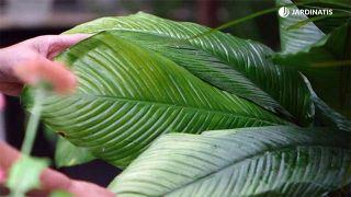 Por qué las hojas de las plantas se vuelven amarillas y cómo solucionarlo