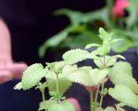Por qué las hojas de las plantas se vuelven amarillas y cómo solucionarlo - Amarilleamiento por falta de nitrógeno