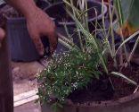 Composición de gramíneas en tonos blancos - Plantación de Arundo Donax y Euphorbia Diamond