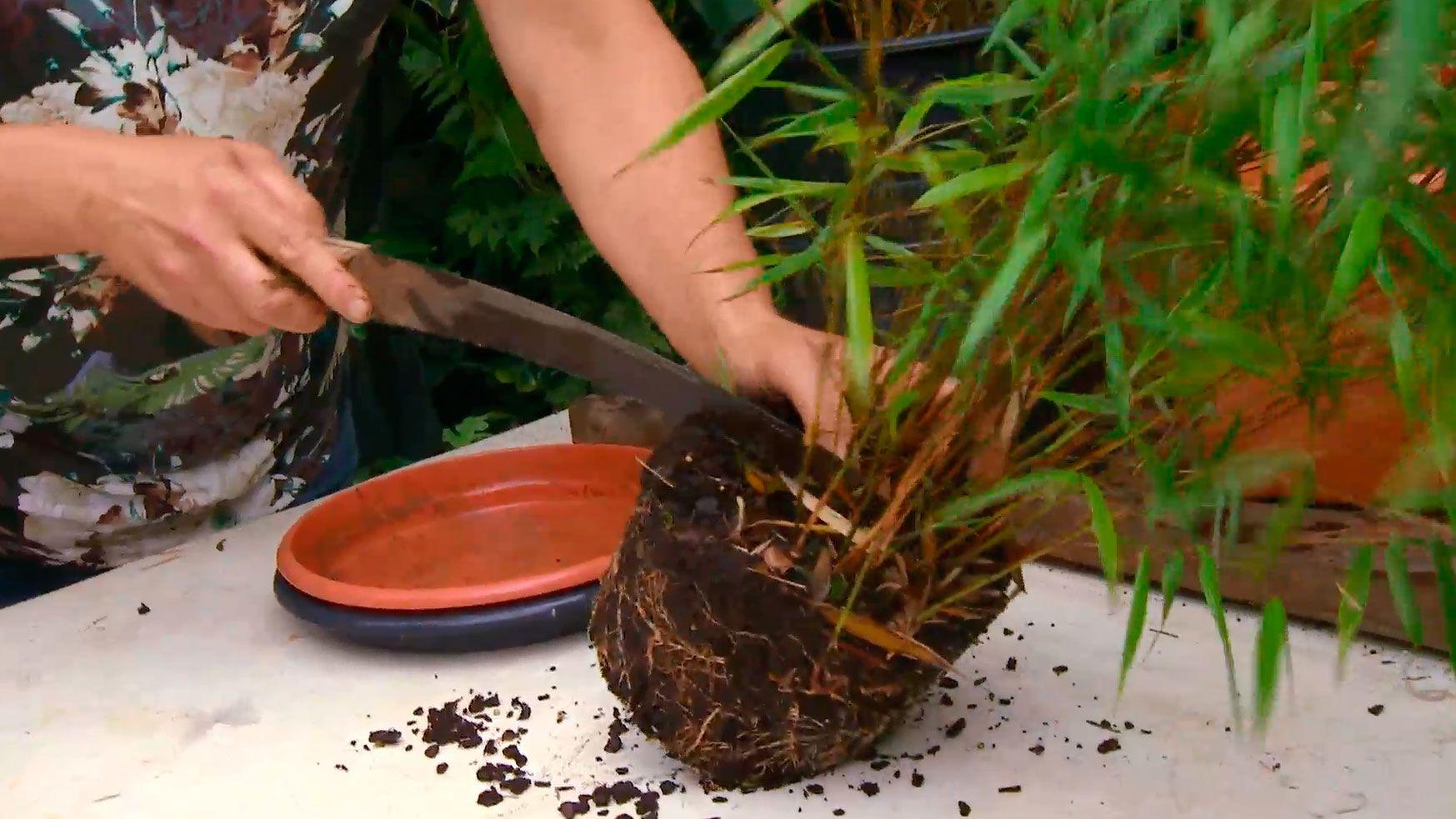 reproducir bambú Fargesia