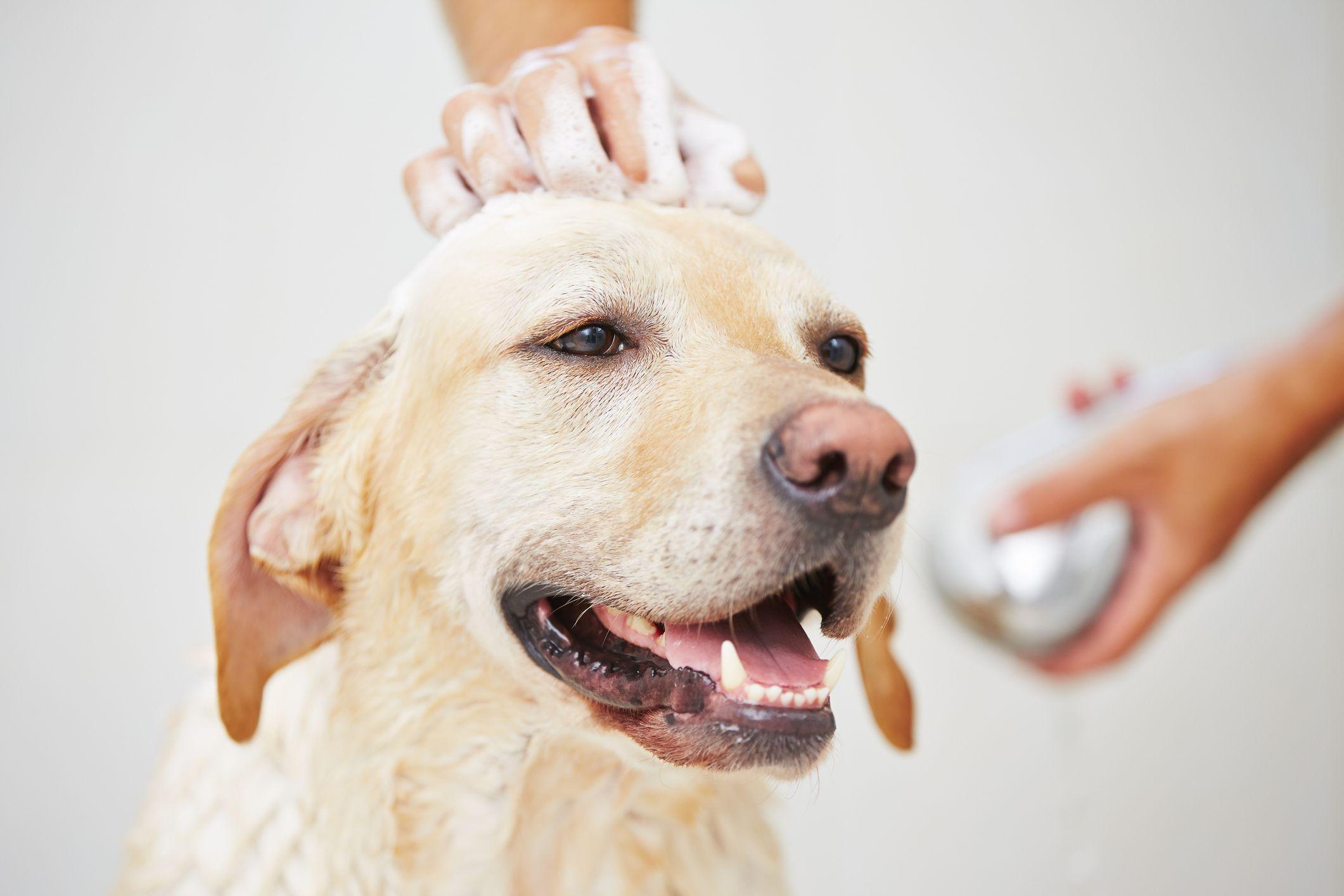 Jabonar al perro