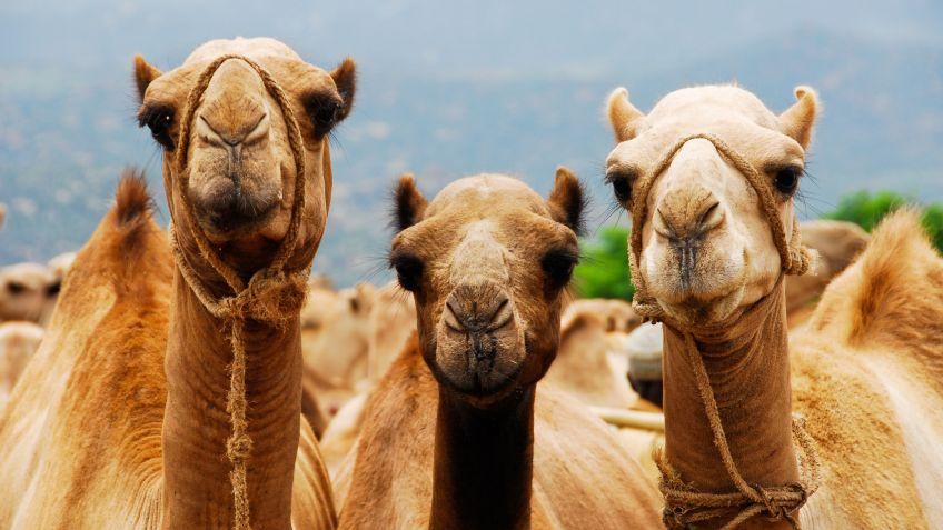 Resultado de imagen para medio oriente camellos