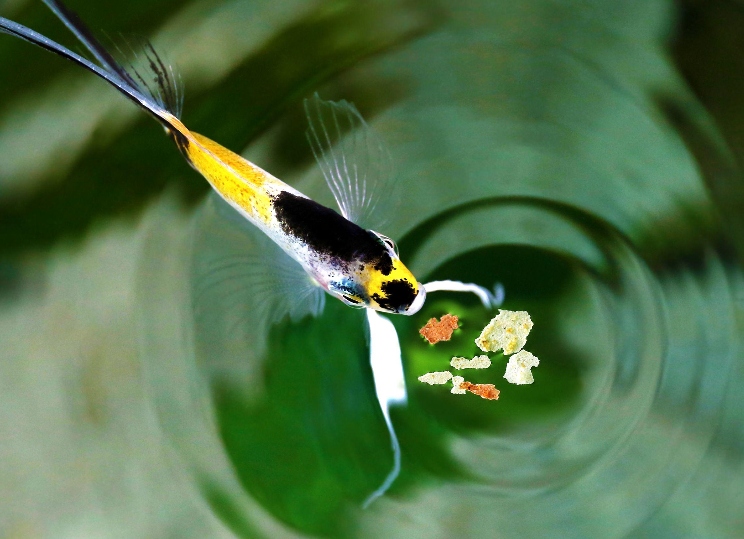 Tipos de alimento para peces hogarmania for Comida para peces tropicales acuario