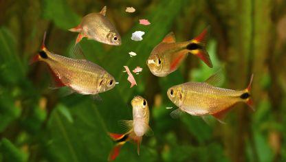 Clasificaci n de los peces seg n su dieta alimentaria for Comida para peces