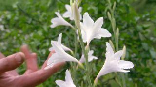 Plantas de flores blancas para el jardín - Gladiolo de Fátima