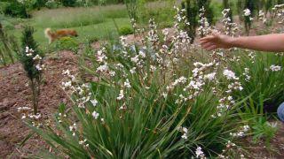 Plantas de flores blancas para el jardín - Libertia