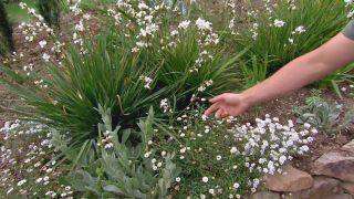 Plantas de flores blancas para el jardín - Margarita y alysum
