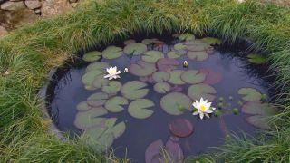 Plantas de flores blancas para el jardín - Nenúfar