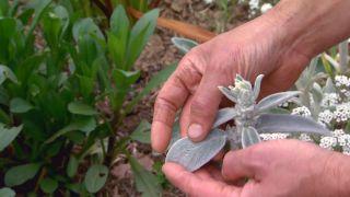 Plantas de flores blancas para el jardín - Stachys lanata
