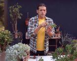 Crassula arborescens - Reproducción