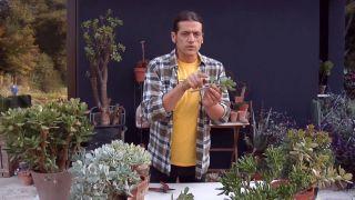 crassulas arborescens