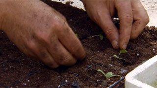 Siembras con semillas otoñales - Paso 8