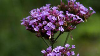 Centro floral con verbena bonariensis