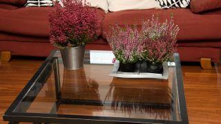 Plantas pequeñas para centros de mesa - Brezo