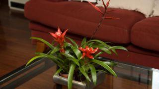 Plantas pequeñas para centros de mesa - Bromelia