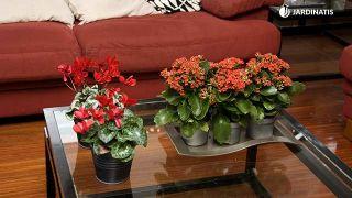 Plantas pequeñas para centros de mesa - Kalanchoesy ciclamenes