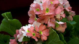 Plantas pequeñas para centros de mesa - Prímula obcónica
