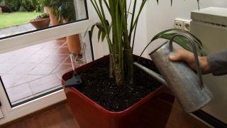 Decorar salón con una kentia en hidrojardinera - Paso 4
