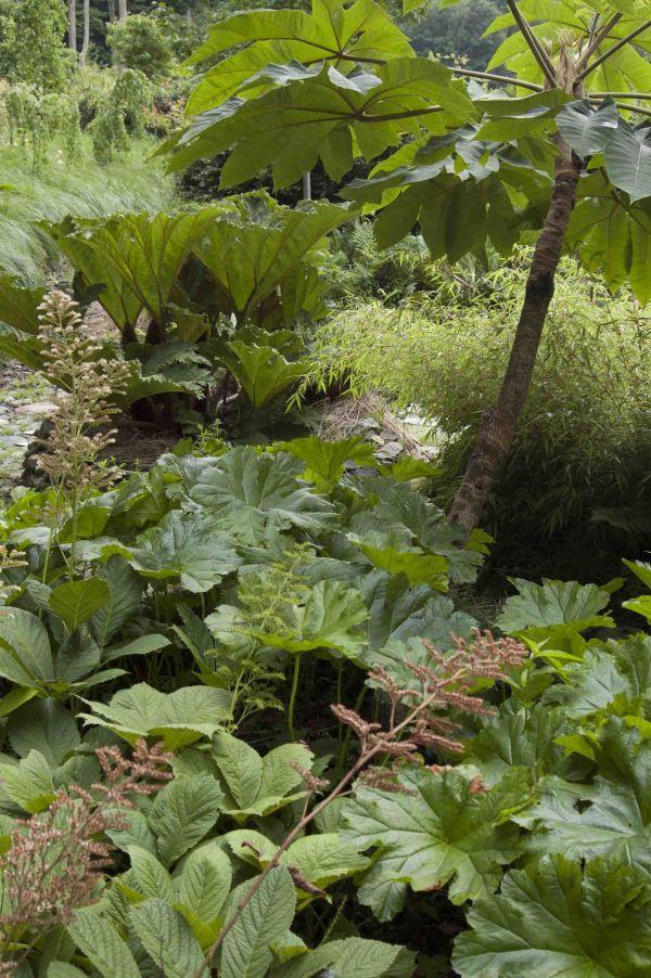 Guneras, plantas de papel arroz, orejas de elefante, rodgersias y dameras