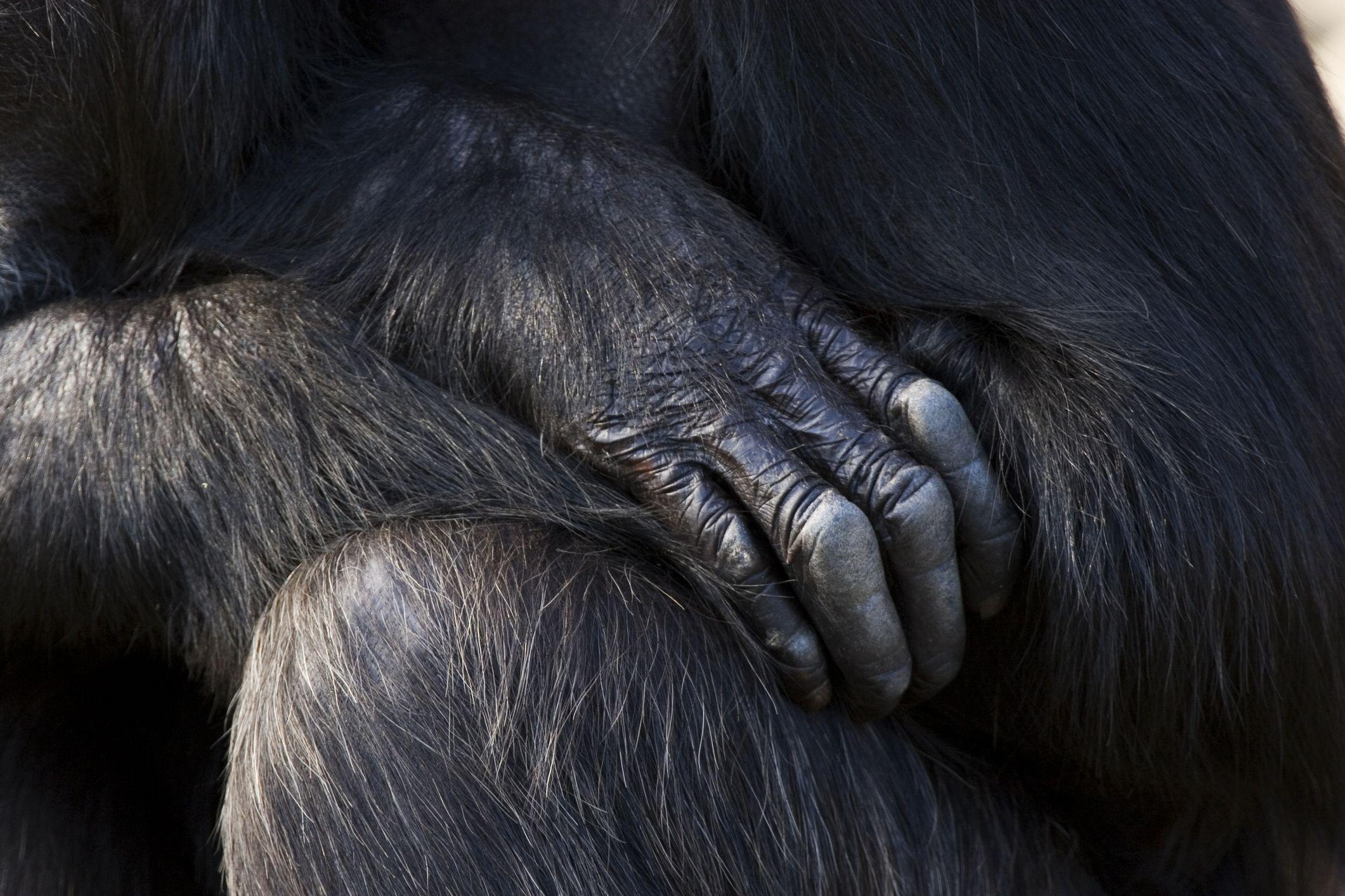 Mano del chimpancé