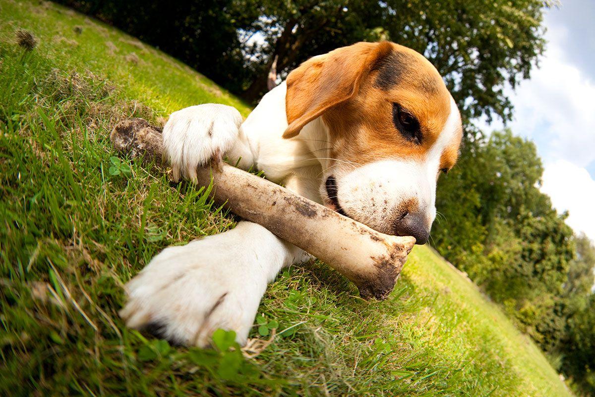 huesos naturales perros