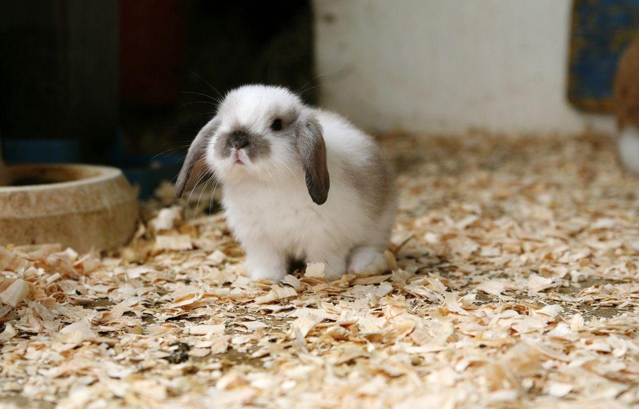 Alimentación conejo enano