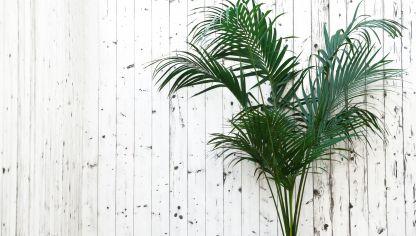 Palma viajera reproduccion asexual de las plantas