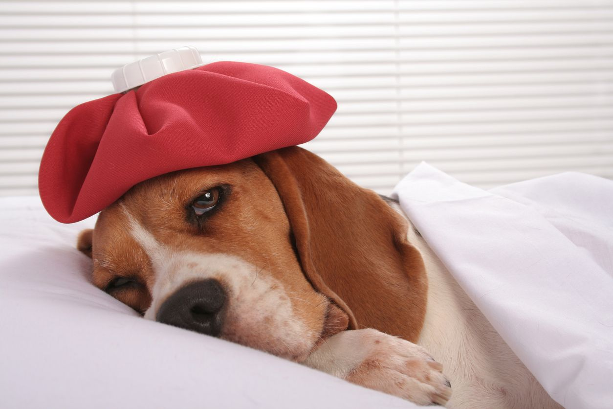 resfriado de perros