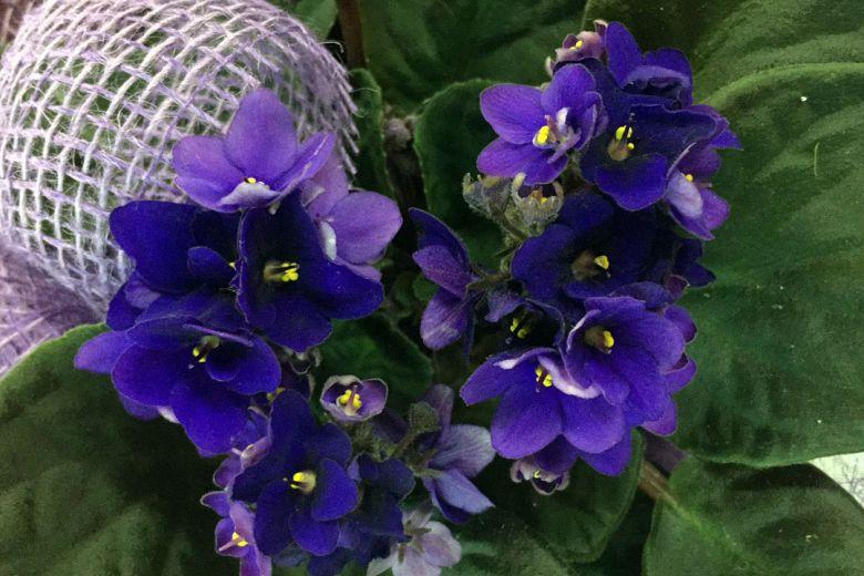 Violeta africana tonos azules