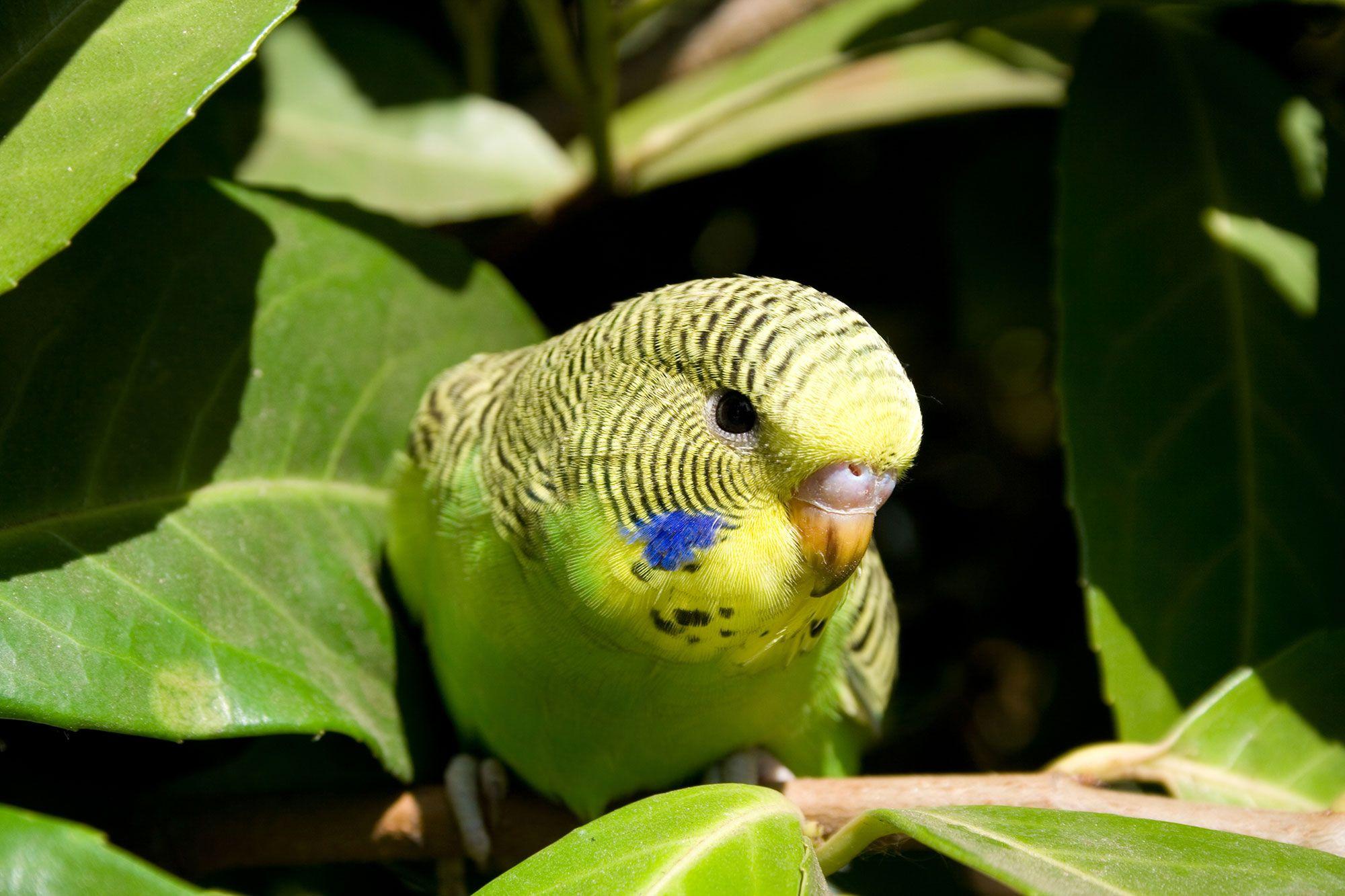 periquito australiano rasgos