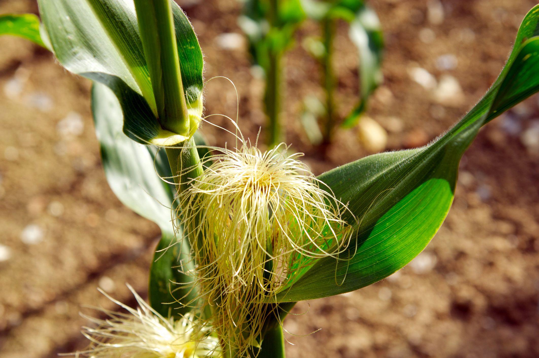 Barba de maíz