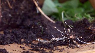 Hierba de barrabás u oxalis - Cómo eliminarlo