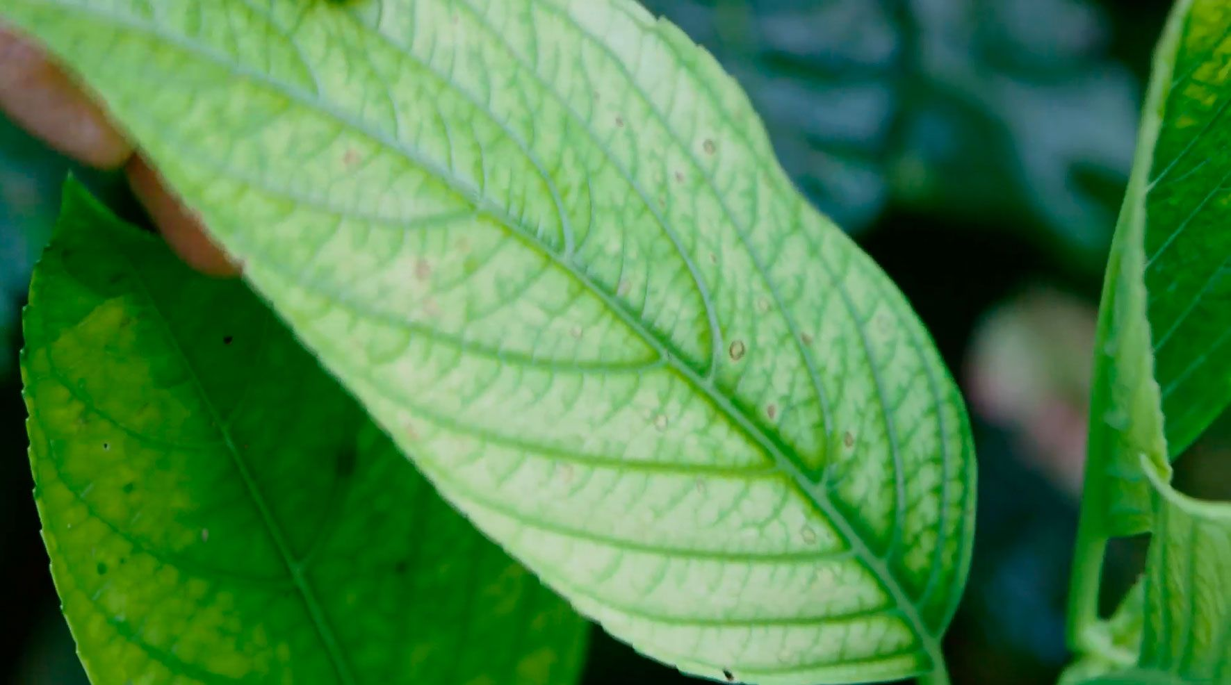 hortensias magical hojas