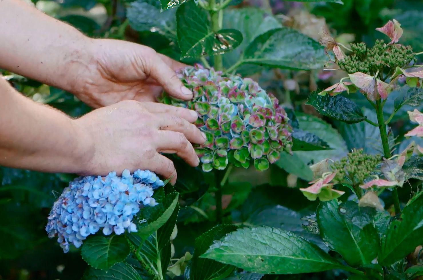 hortensias magical otoño