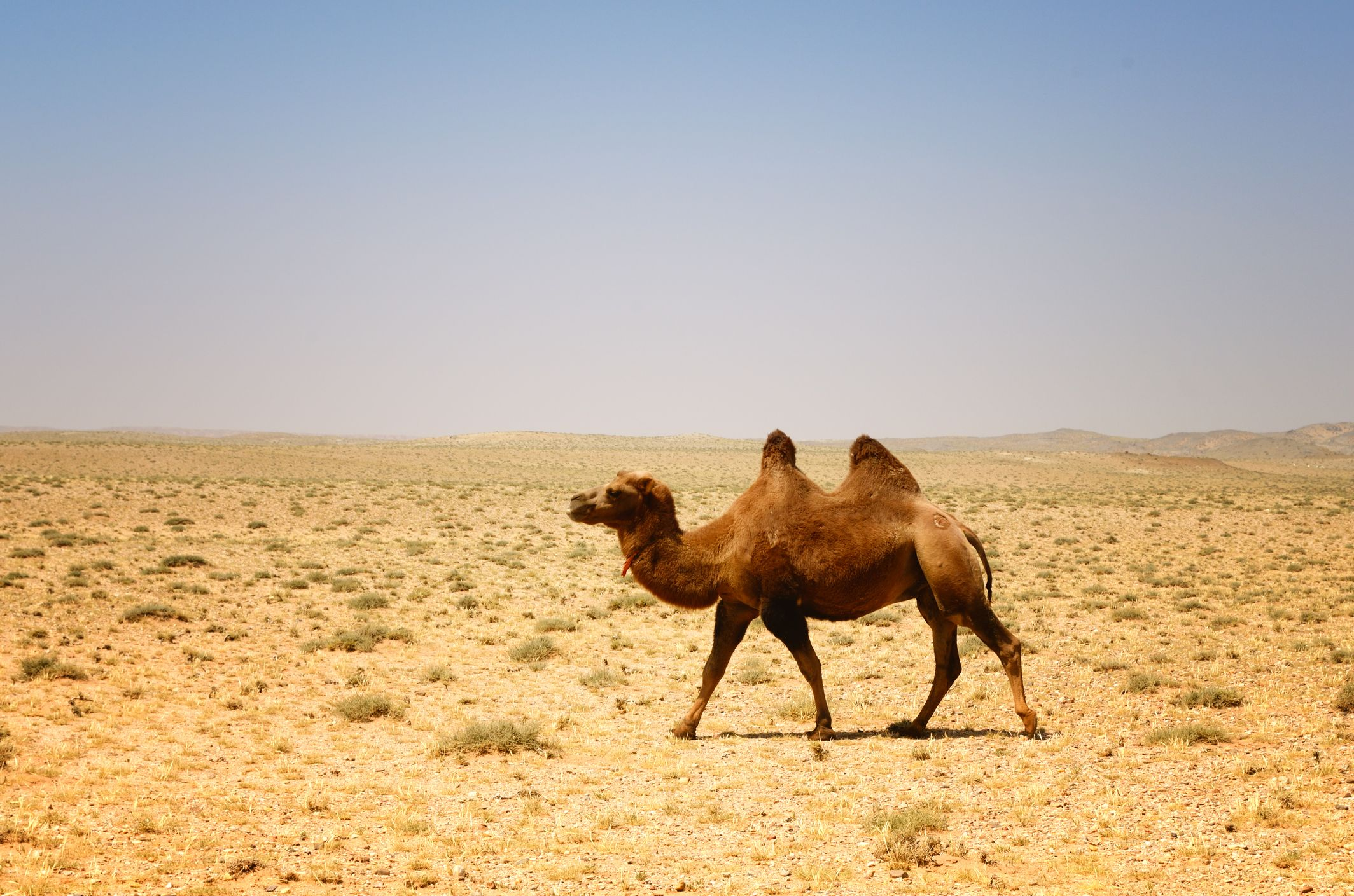 joroba camello