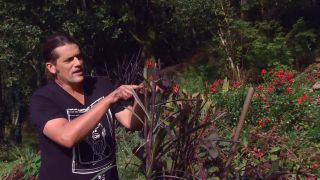 Pennisetum vertigo - Nuevos brotes