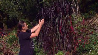 Pennisetum vertigo - Características