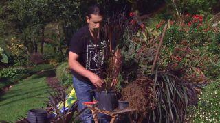 Pennisetum vertigo - Reproducción
