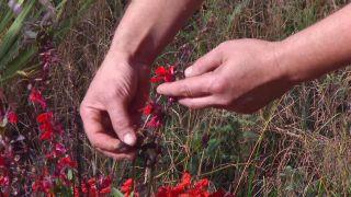 Lobelia cardinalis - Características