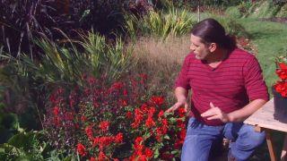 Lobelia cardinalis - Composición con begonia tuberosa
