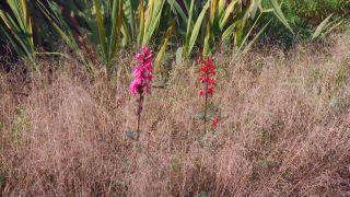 Lobelia cardinalis - Composición con deschampsia cespitosa goldtau