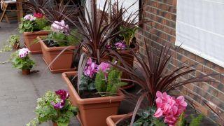 Composición en jardineras de exterior con drácenas y ciclamenes - Detalle
