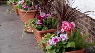 Composición en jardineras de exterior con drácenas y ciclamenes - Detalle final