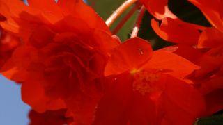 Decorar terraza con begonias y alegrías - Begonia tuberosa