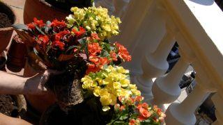 Decorar terraza con begonias y alegrías - Plantar alegría guineana